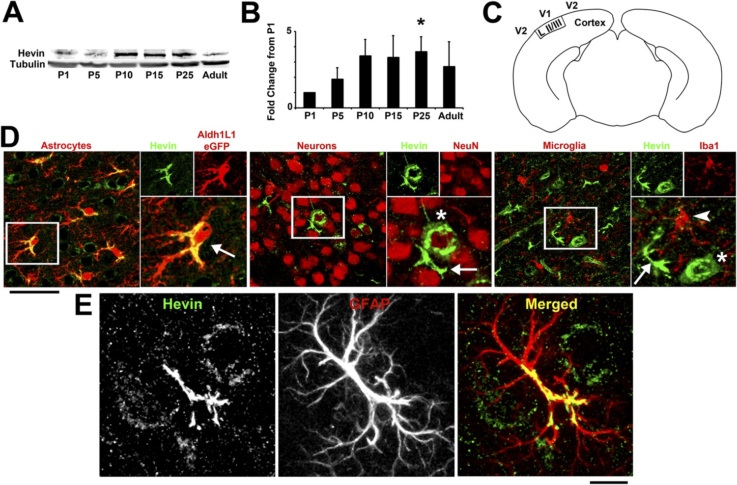 Astrocytes Refine Cortical Connectivity At Dendritic