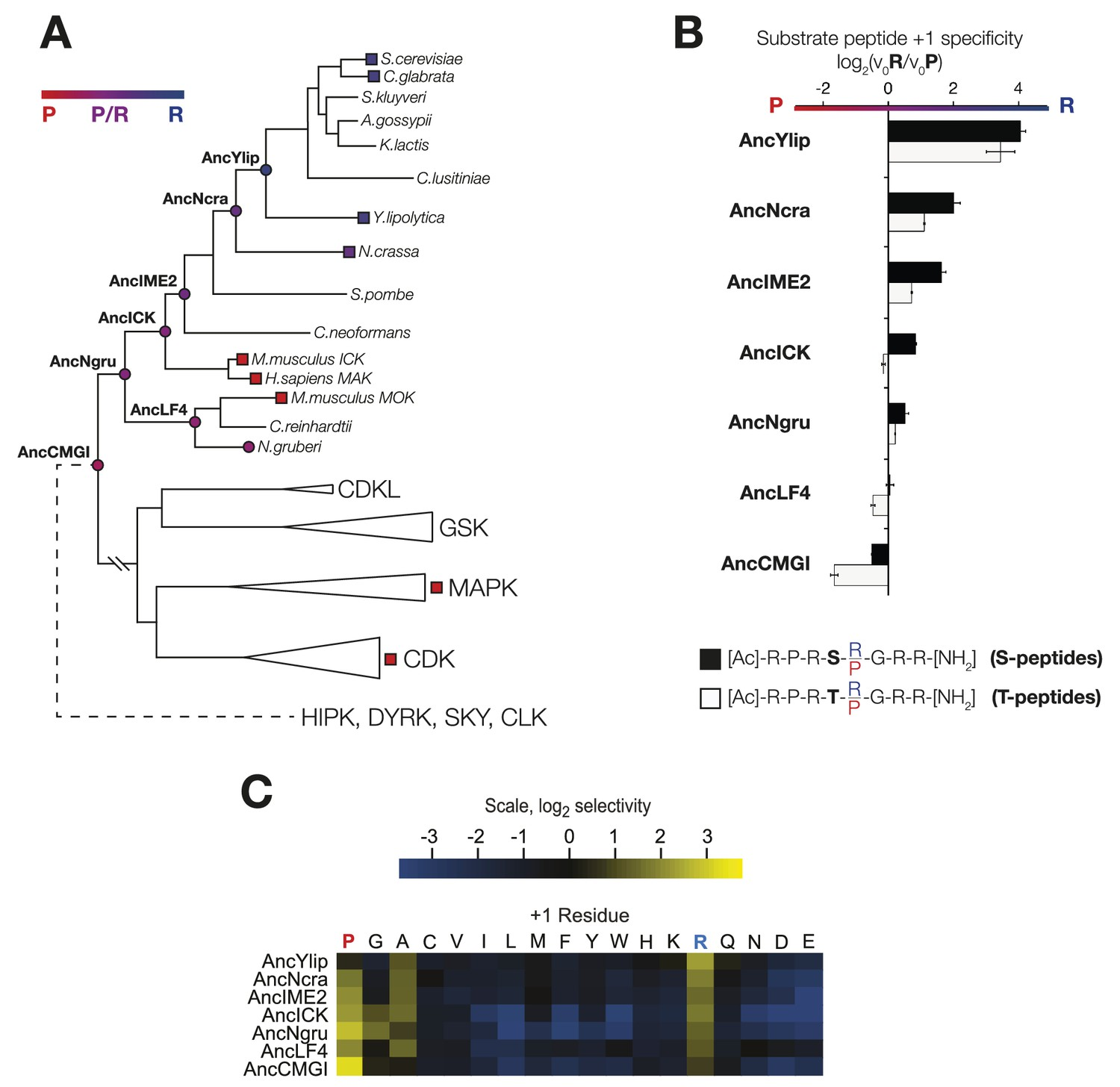 The substrate peptide +1 specificity evolved from proline in AncCMGI to  arginine in S. cerevisiae Ime2 via an expanded specificity intermediate.