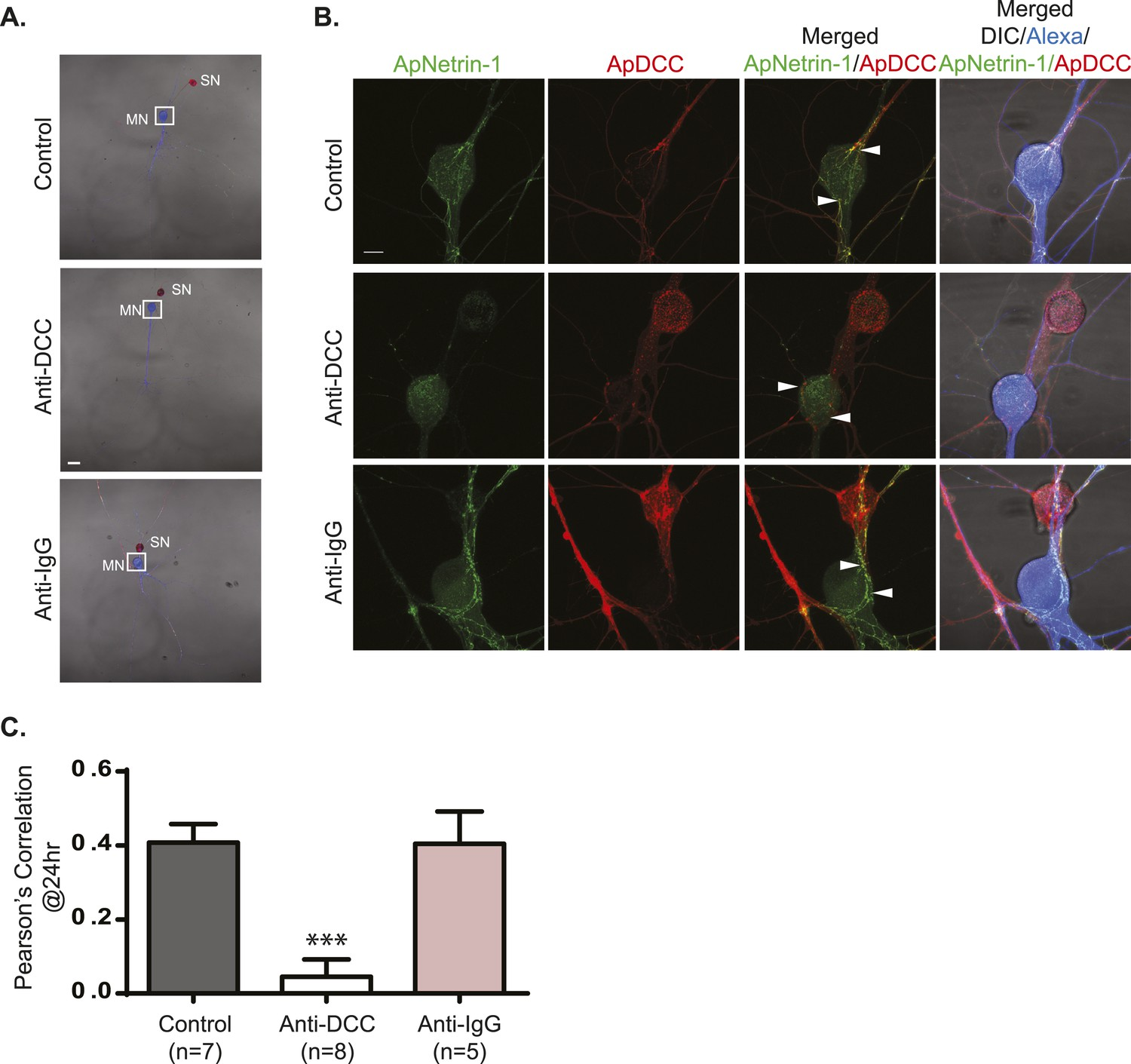 Neuron-wide RNA transport combines with netrin-mediated