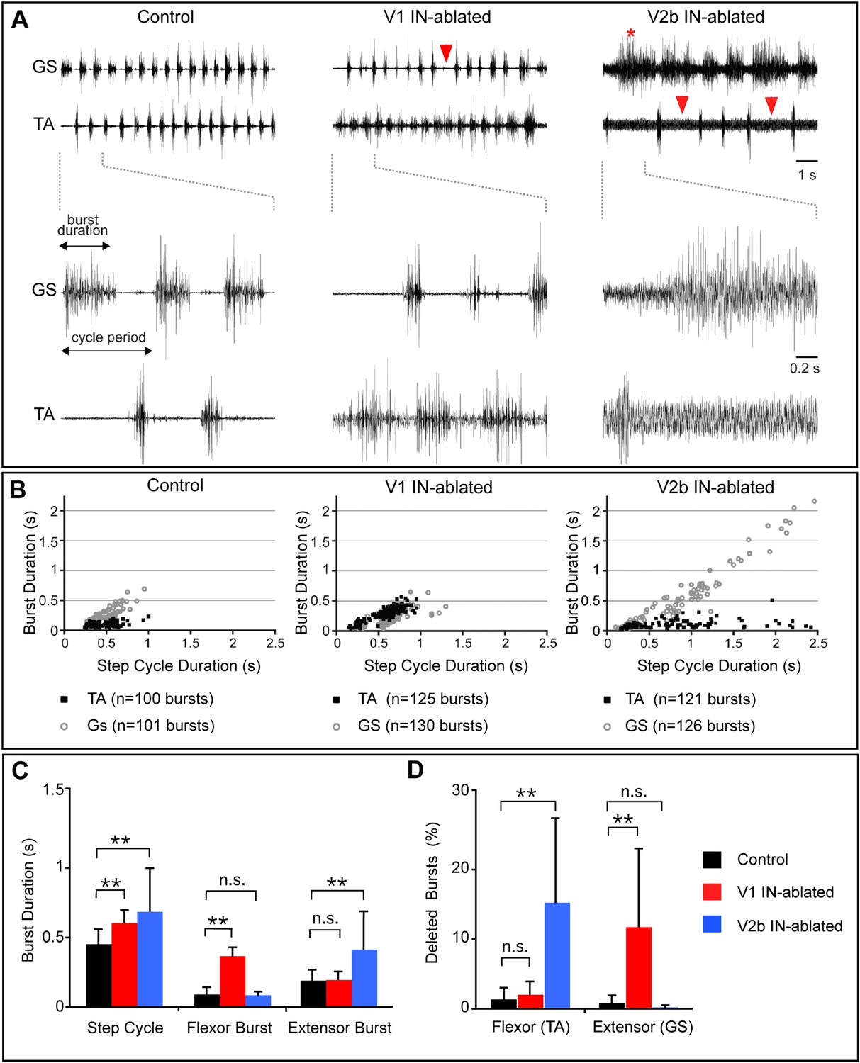 A Genetically Defined Asymmetry Underlies The Inhibitory Control Of Two Step Dance Diagrams Altered Rhythmic Muscle Activities During Airstepping In Absence V1 Or V2b Cells