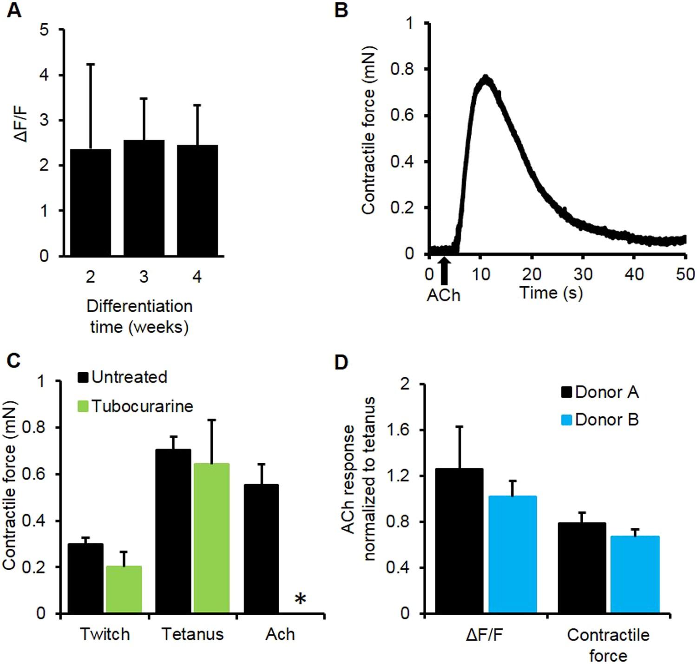 Bioengineered Human Myobundles Mimic Clinical Responses Of Skeletal