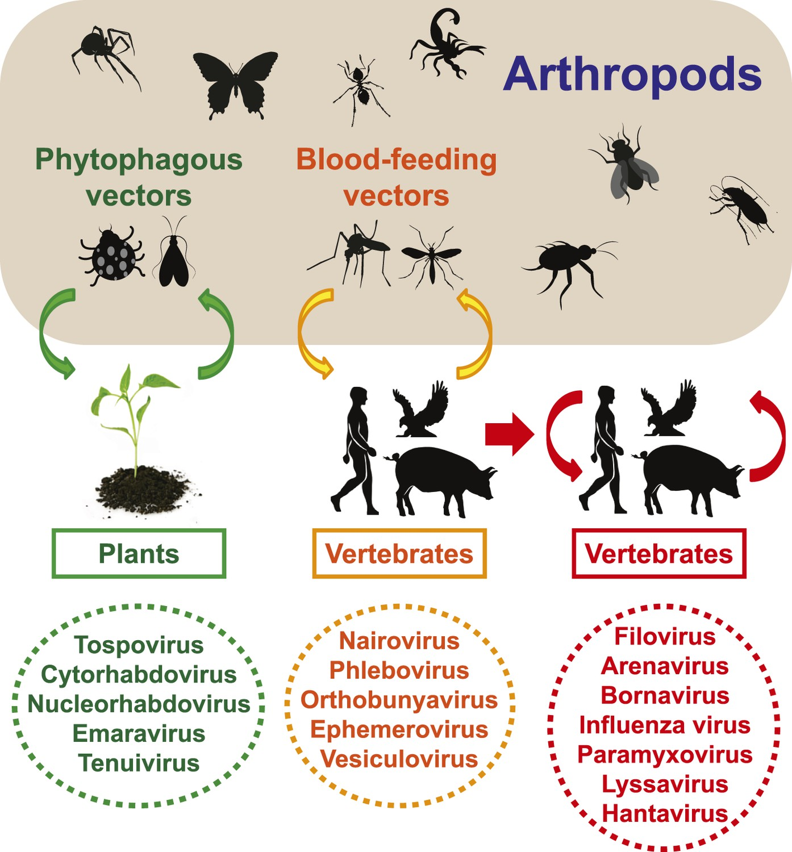 Arboviruses, the Arthropod