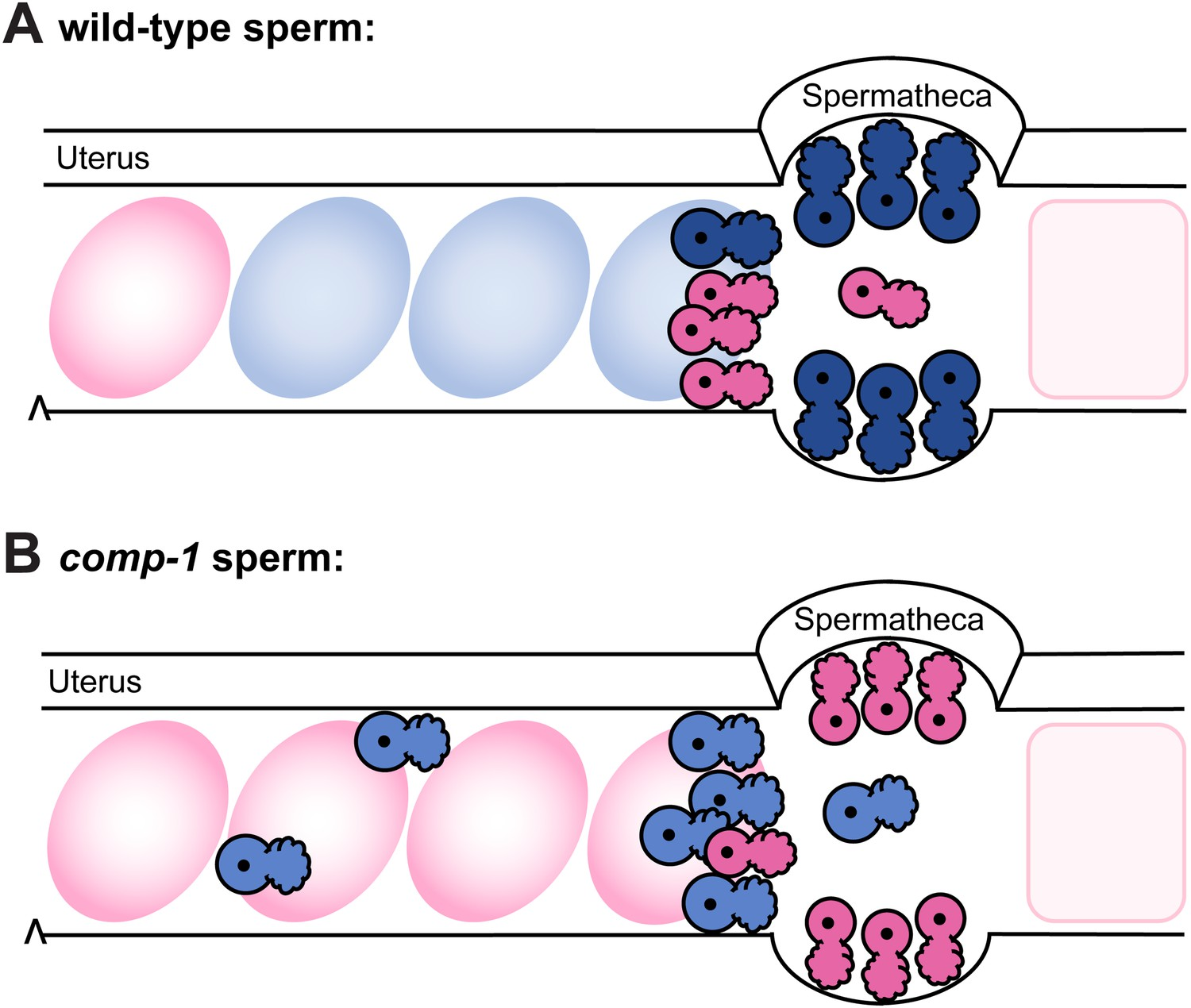 Model: comp-1 sperm have localization defects that result in failure to  compete with wild-type sperm.