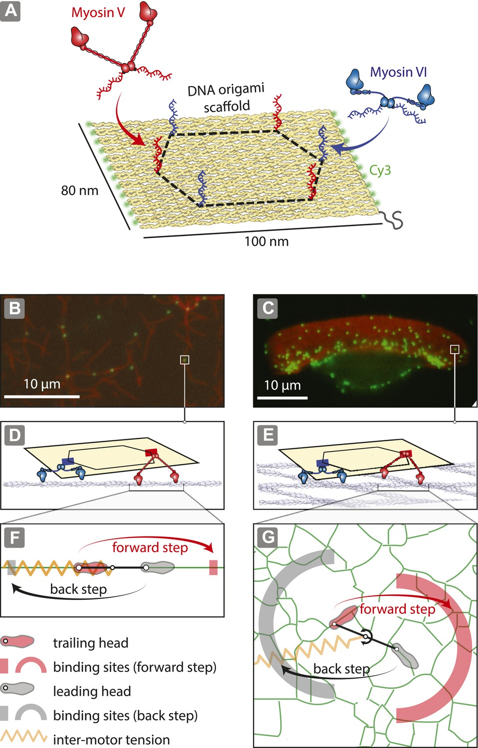 Tuning Myosin Driven Sorting On Cellular Actin Networks Elife Motor Control Circuit File Alternative Link Bidirectionmotorspeed Reconstitution Of Cargo 1d And 2d Tracks