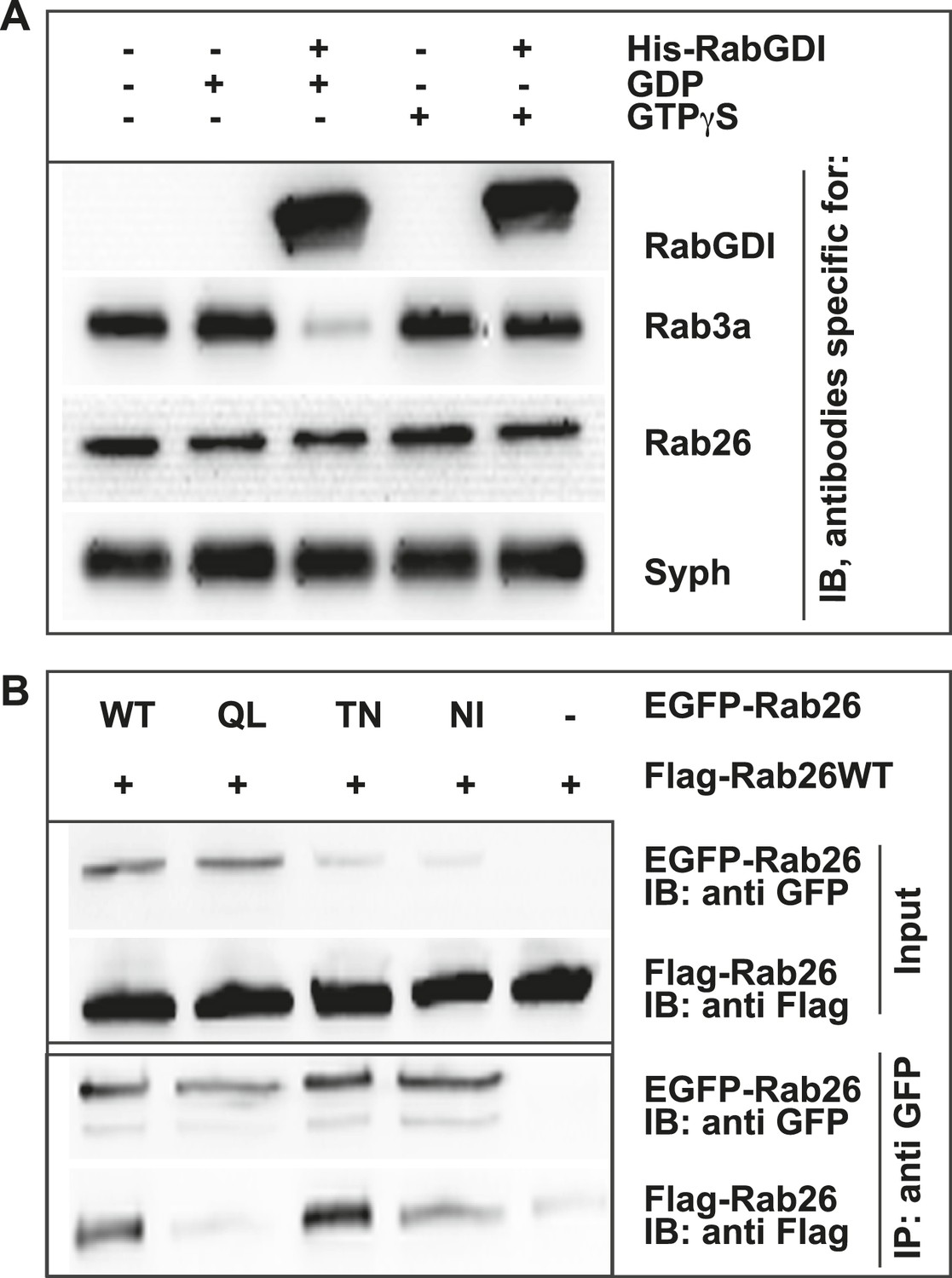 The GTPase Rab26 links synaptic vesicles to the autophagy