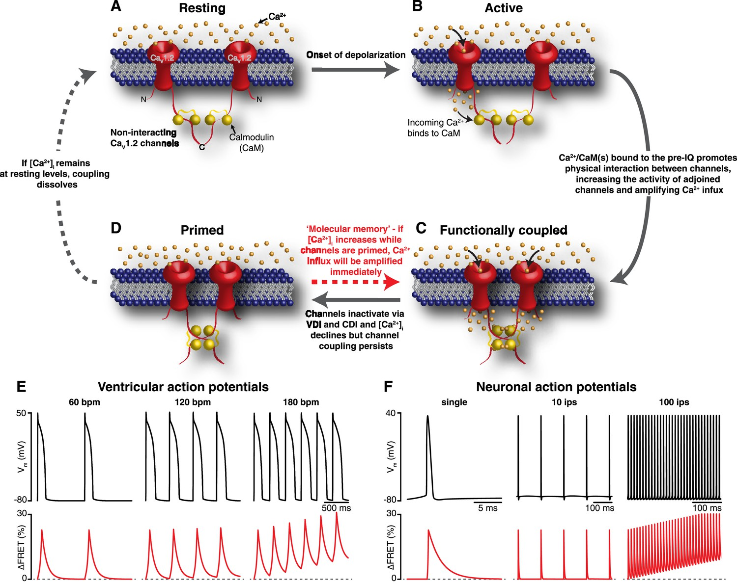 Graded Ca2+/calmodulin-dependent coupling of voltage-gated CaV1 2