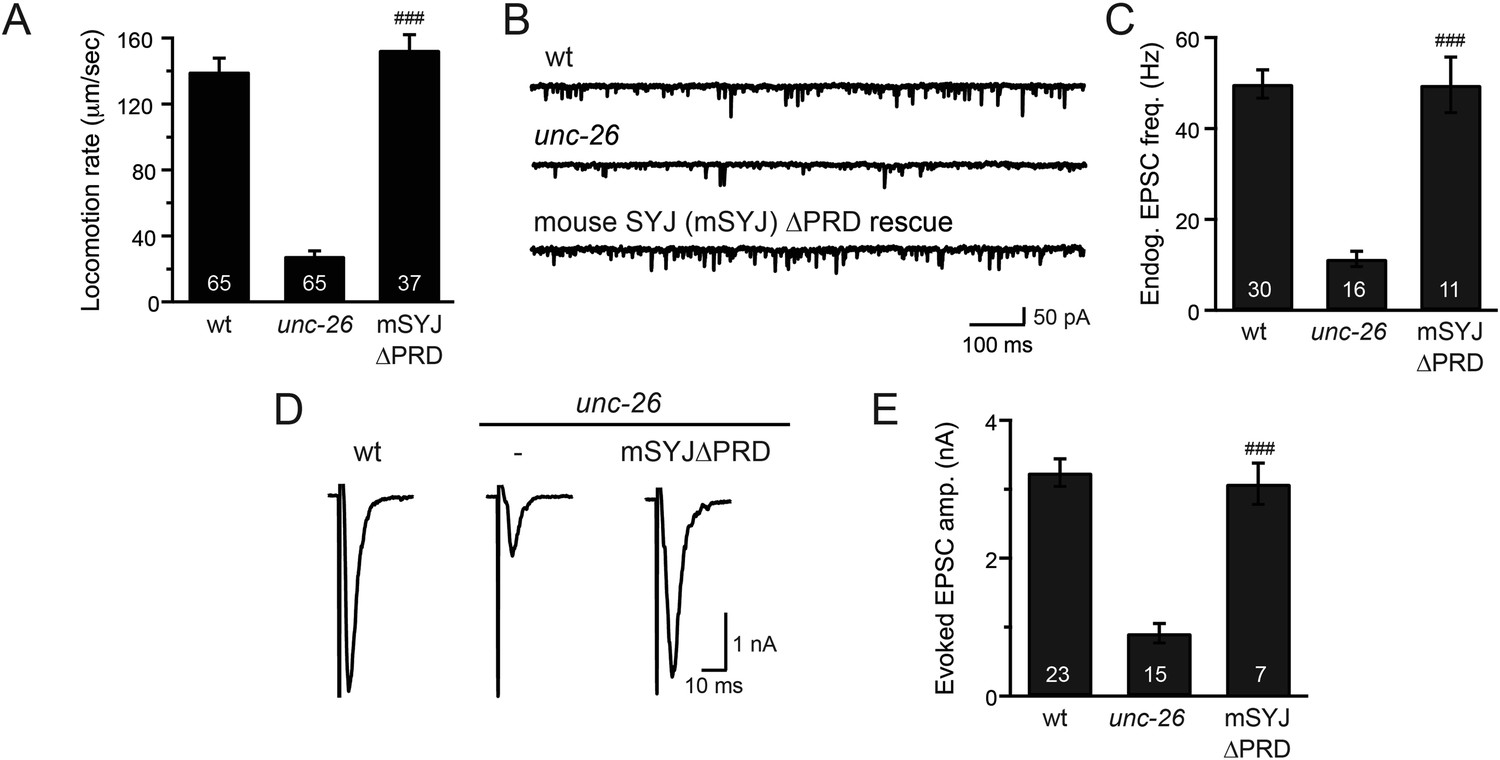 Synaptojanin Cooperates In Vivo With Endophilin Through An Schematic Of A Crude Ecg Circuit Mouse Prd Is Functional C Elegans Neurons