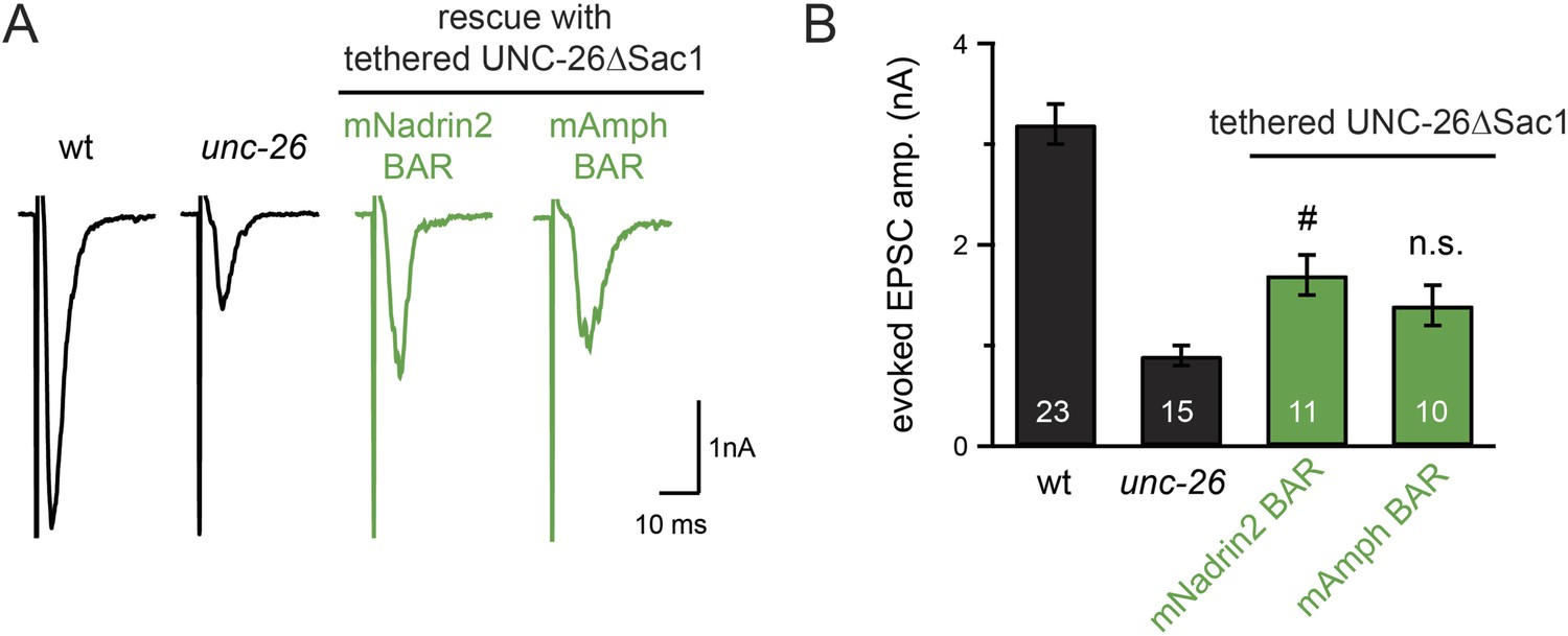 Synaptojanin Cooperates In Vivo With Endophilin Through An Schematic Of A Crude Ecg Circuit Specificity Bar Proteins For Bypassing The Sac1 Requirement
