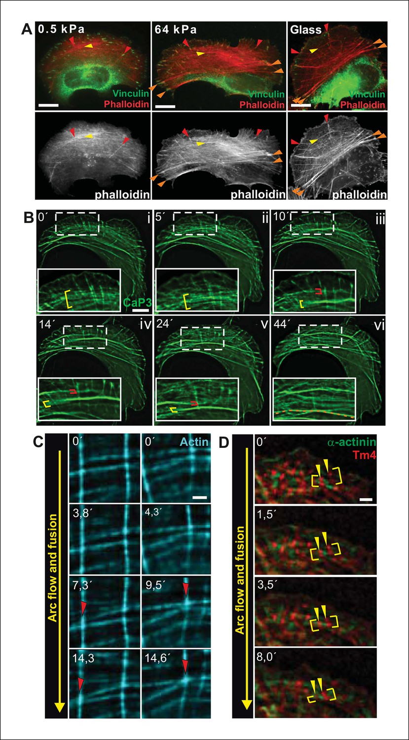 Figures And Data In Generation Of Contractile Actomyosin Bundles Electrical Fuses On Red Box Transverse Arcs Fuse During Centripetal Flow To Generate A Ventral Stress Fiber