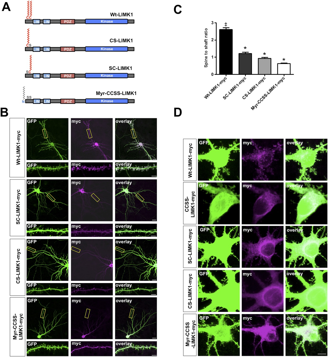 Dual palmitoylation is necessary for LIMK1 spine targeting.