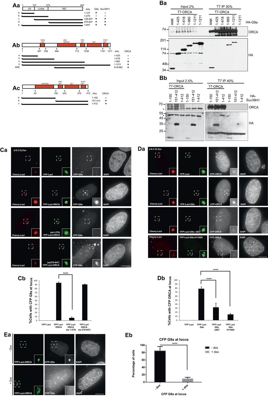 The preRC protein ORCA organizes heterochromatin by assembling