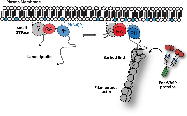 Lamellipodin promotes actin assembly by clustering Ena/VASP