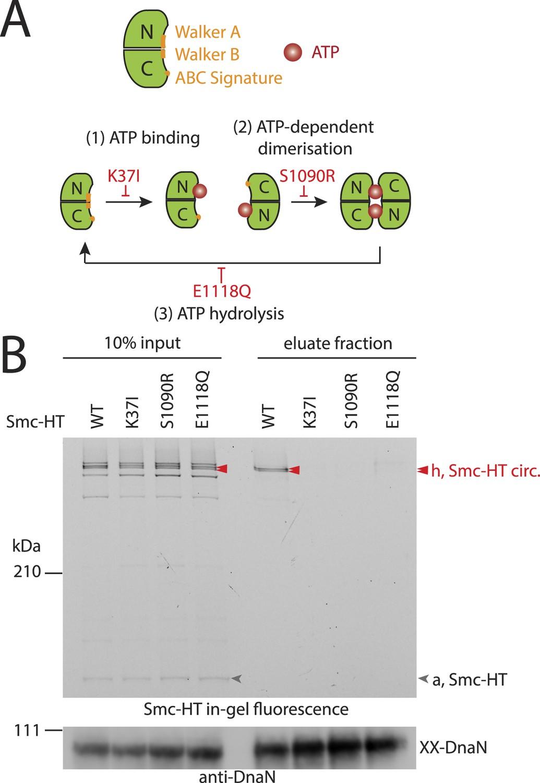 SMC condensin entraps chromosomal DNA by an ATP hydrolysis