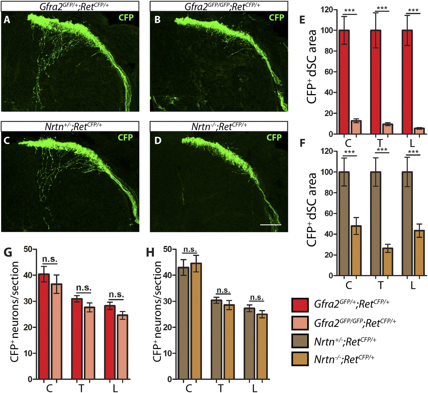 Cis And Trans Ret Signaling Control The Survival Central 12 Lead Motor Star Delta Wiring Diagram Gfra2 Nrtn Null Mice Show Reduced Ra Mechanoreceptor Projections At E135