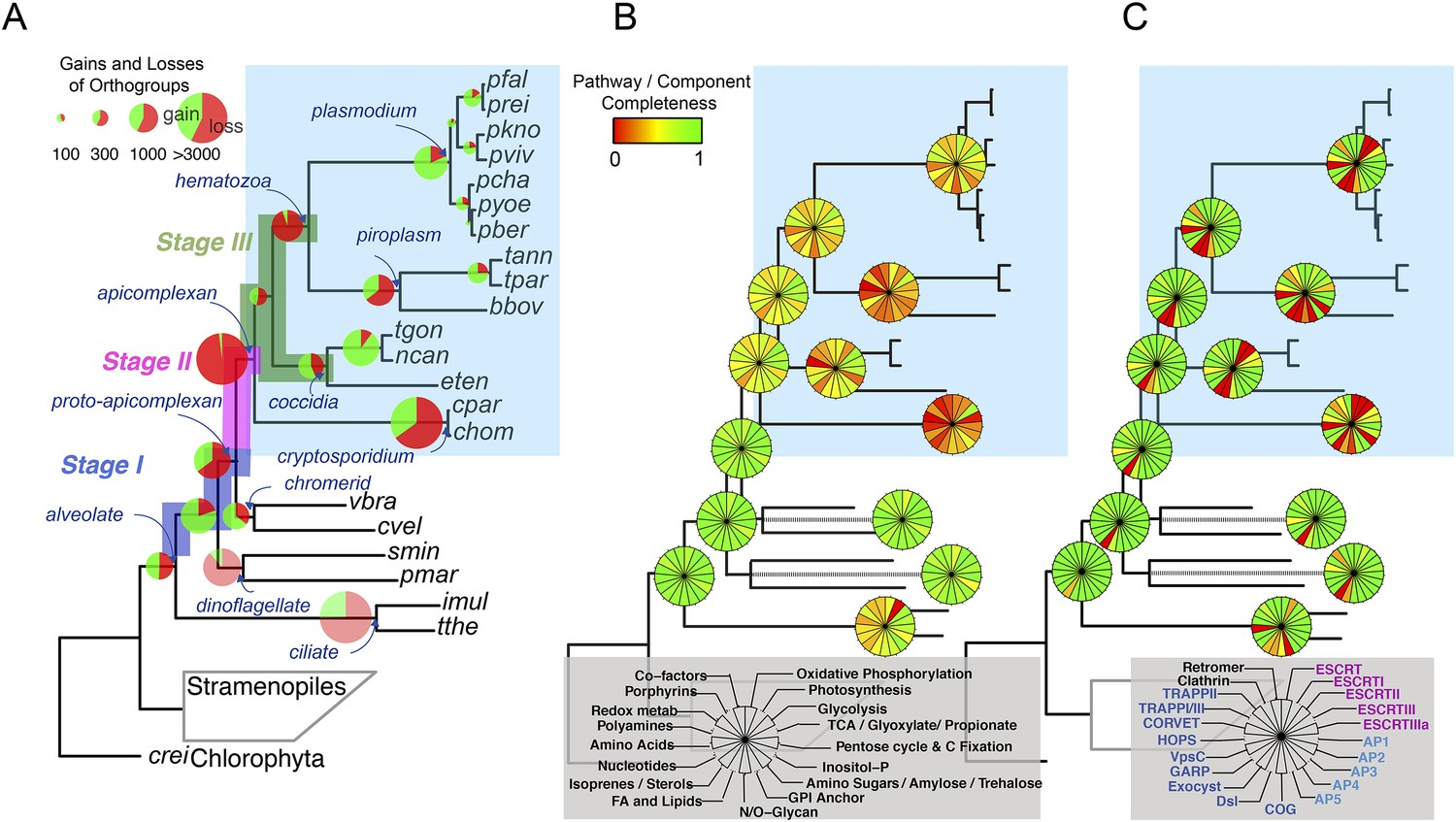 Chromerid genomes reveal the evolutionary path from