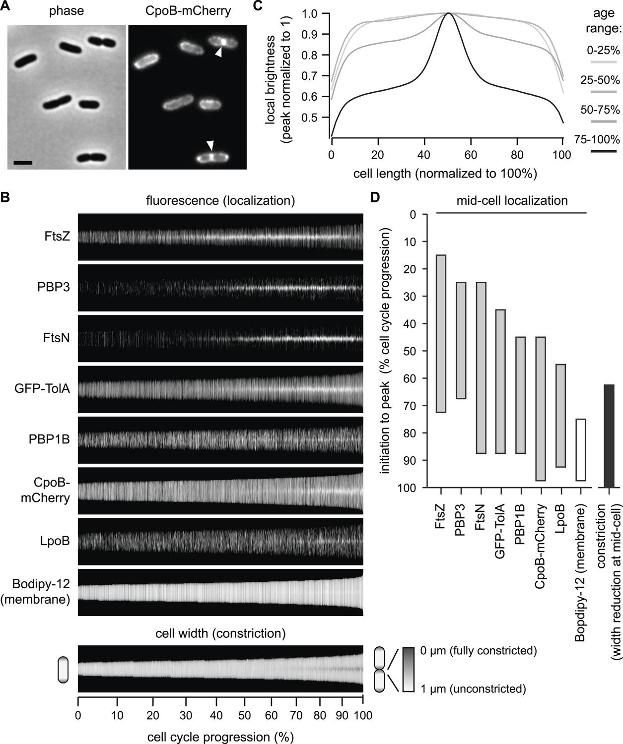 Coordination Of Peptidoglycan Synthesis And Outer Membrane