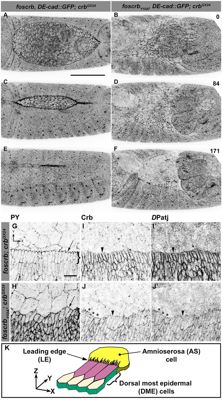 Figures and data in Crumbs is an essential regulator of cytoskeletal