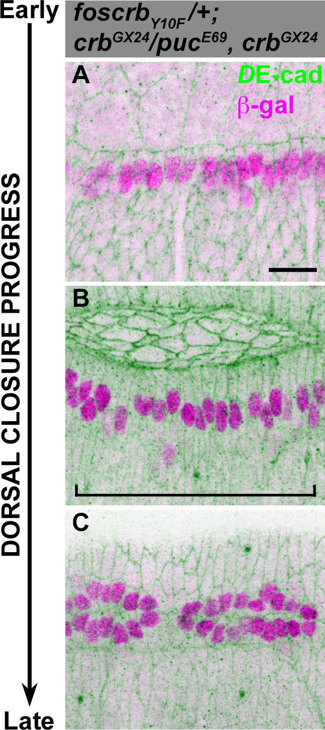 Crumbs Is An Essential Regulator Of Cytoskeletal Dynamics And Cell Axis Gaul Jnk Signalling Normal In Foscrby10f Embryos