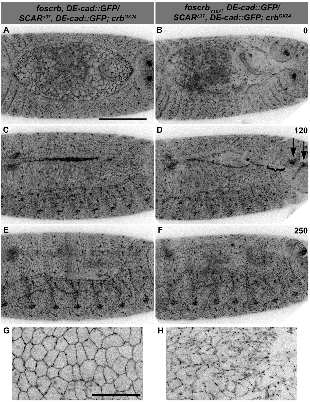 Crumbs is an essential regulator of cytoskeletal dynamics