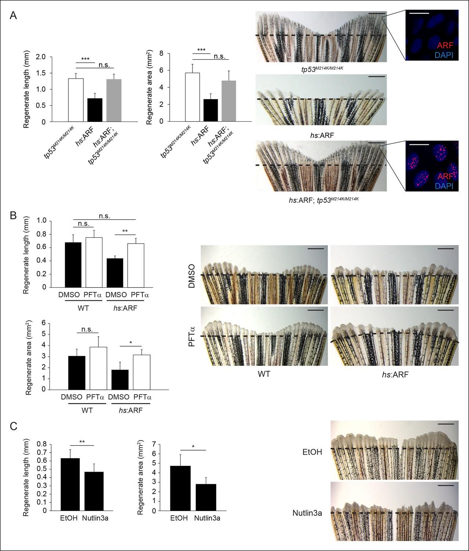 The human ARF tumor suppressor senses blastema activity and