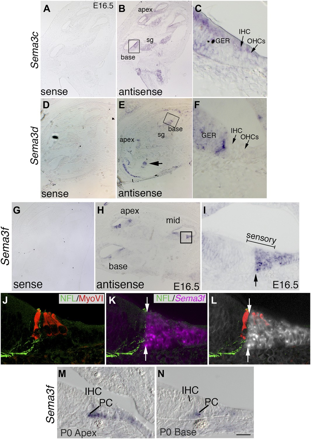 Neuropilin 2 Semaphorin 3f Mediated Repulsion Promotes Inner Hair Apex Wiring Solutions Ltd The Expression Pattern Of Sema3f Suggests A Role In Nrp2 Signaling During Cochlear Innervation