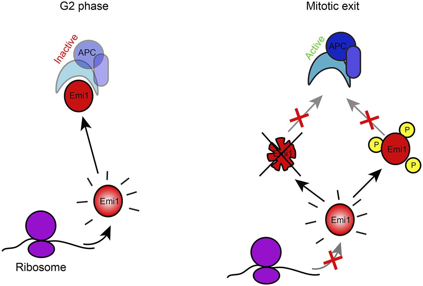 Regulation of mRNA translation during mitosis | eLife