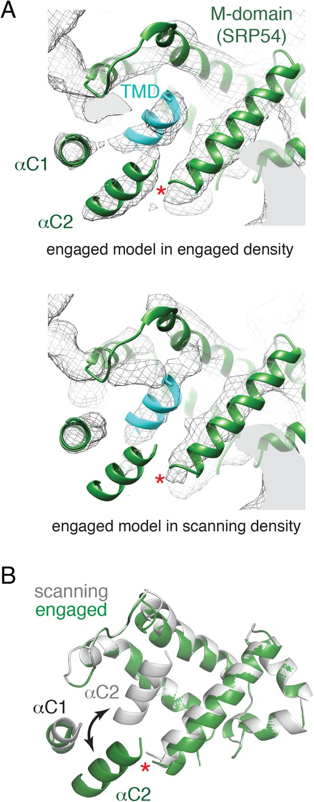 Structures of the scanning and engaged states of the mammalian SRP