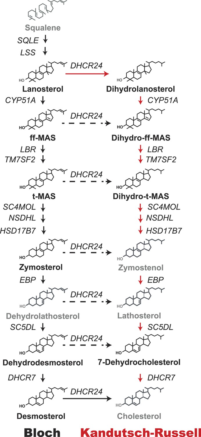 Flux analysis of cholesterol biosynthesis in vivo reveals