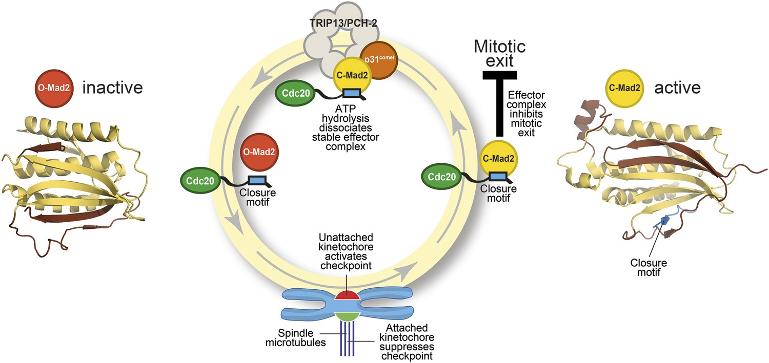Checkpoint Proteins: Closing the Mad2 cycle | eLife
