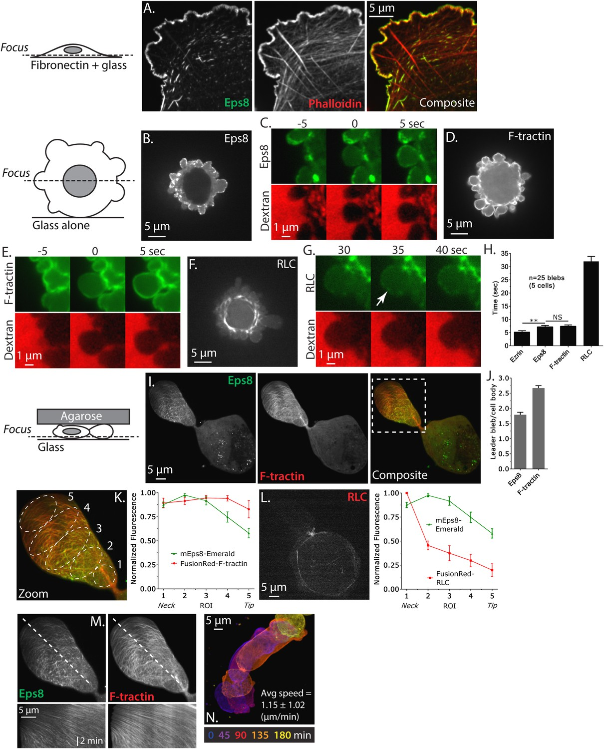 Erk regulation of actin capping and bundling by Eps8