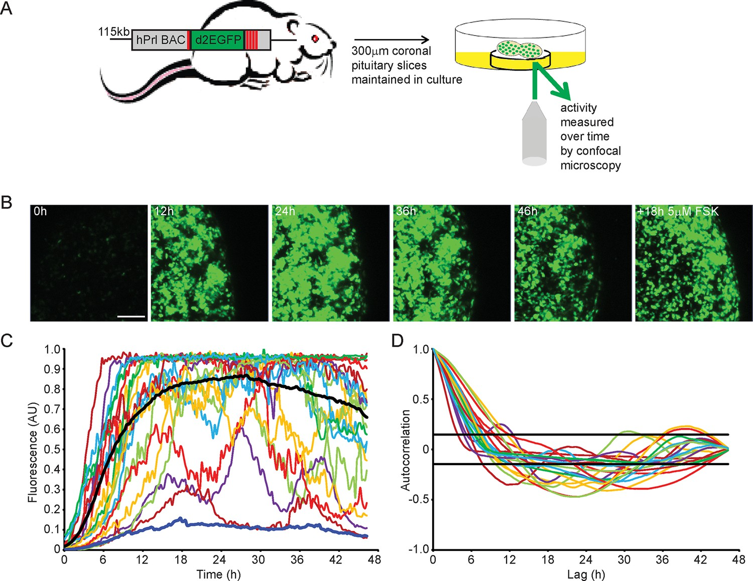 Spatially Coordinated Dynamic Gene Transcription In Living Pituitary Text Transcribed For Accessibility Given A Parallel Electric Circuit Patterns Of Prolactin Activity Tissue