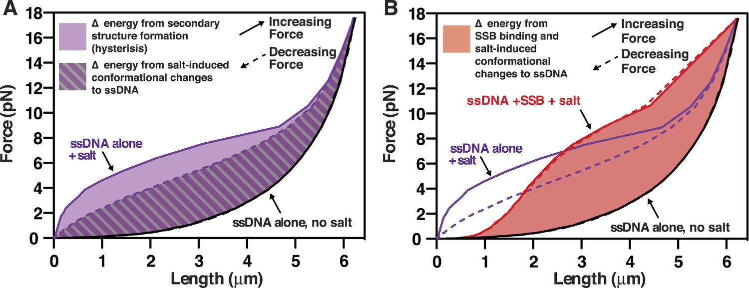Imaging and energetics of single SSB-ssDNA molecules reveal