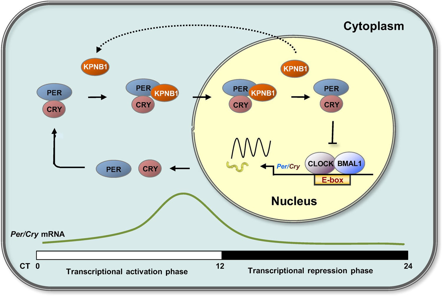 KPNB1 mediates PER/CRY nuclear translocation and circadian ...