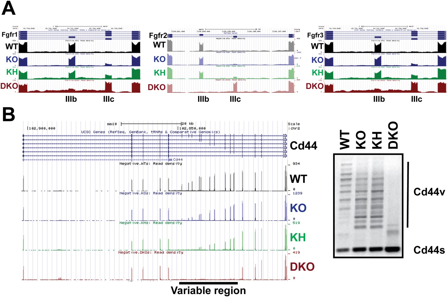 The splicing regulators esrp1 and esrp2 direct an epithelial the esrps regulate as of the fgfr family and cd44 genes in epidermis ccuart Image collections