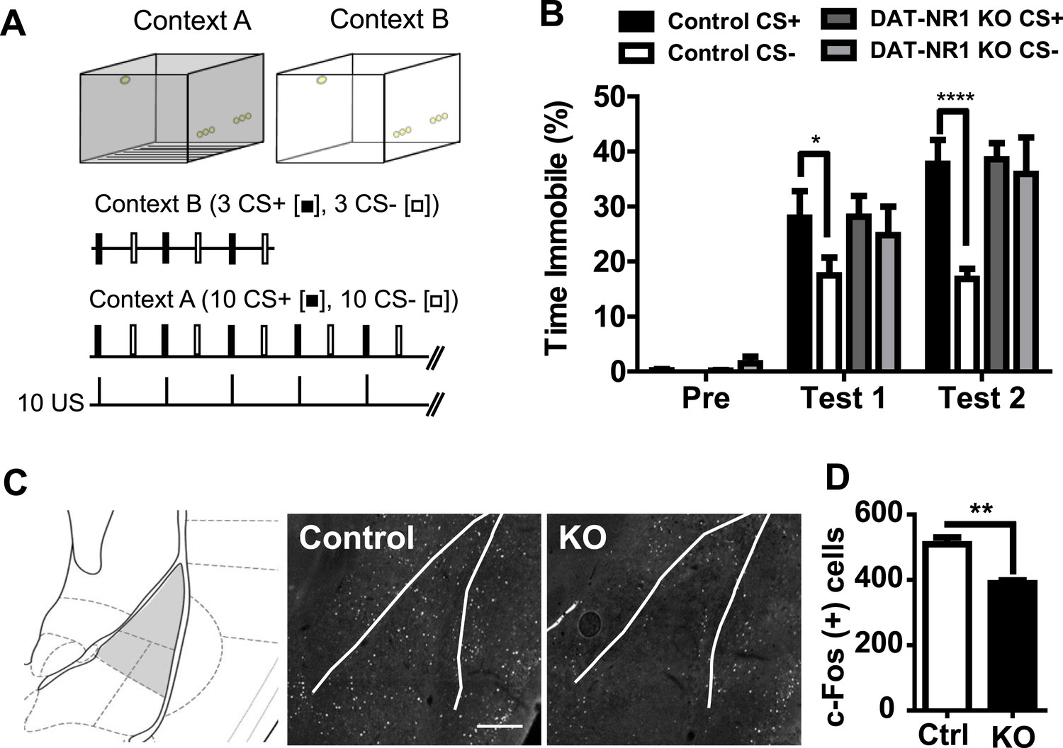 Impaired Fear Discrimination And C Fos Activation In The LA Of DAT NR1 KO Mice