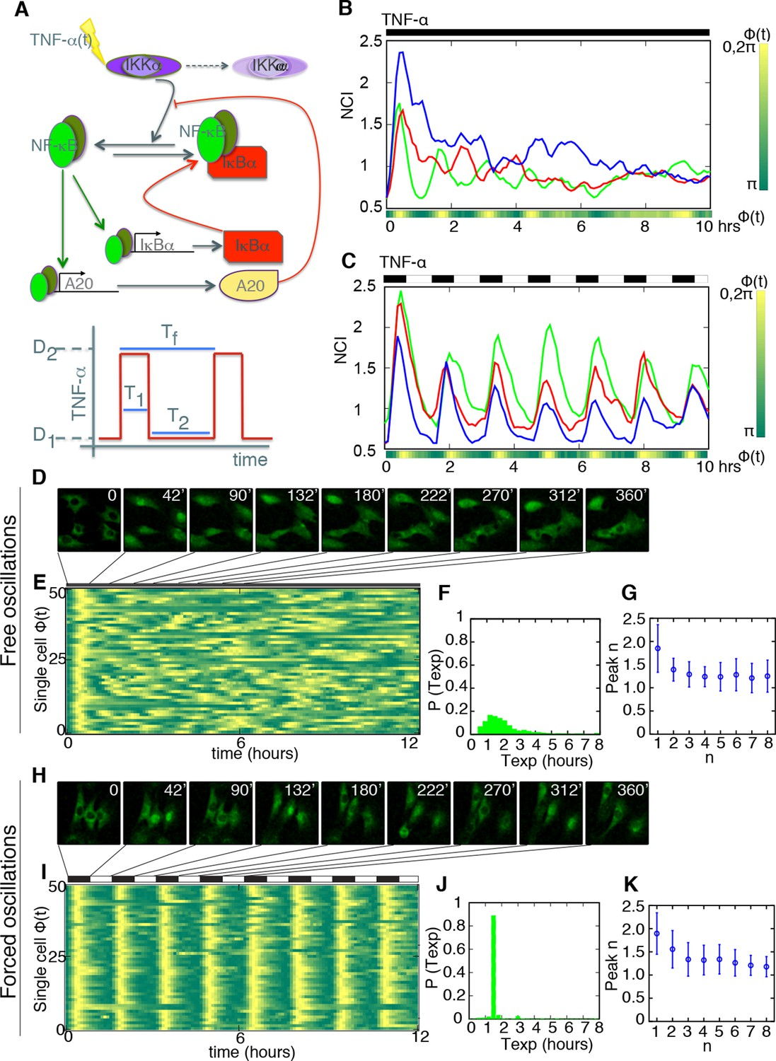Nf B Oscillations Translate Into Functionally Related Patterns Of Inductive Proximity Sensor Comprising A Resonant Oscillatory Circuit Periodic Forcing Turns Damped Heterogeneous Oscillation Synchronous Sustained