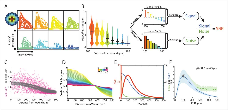 Paracrine communication maximizes cellular response fidelity