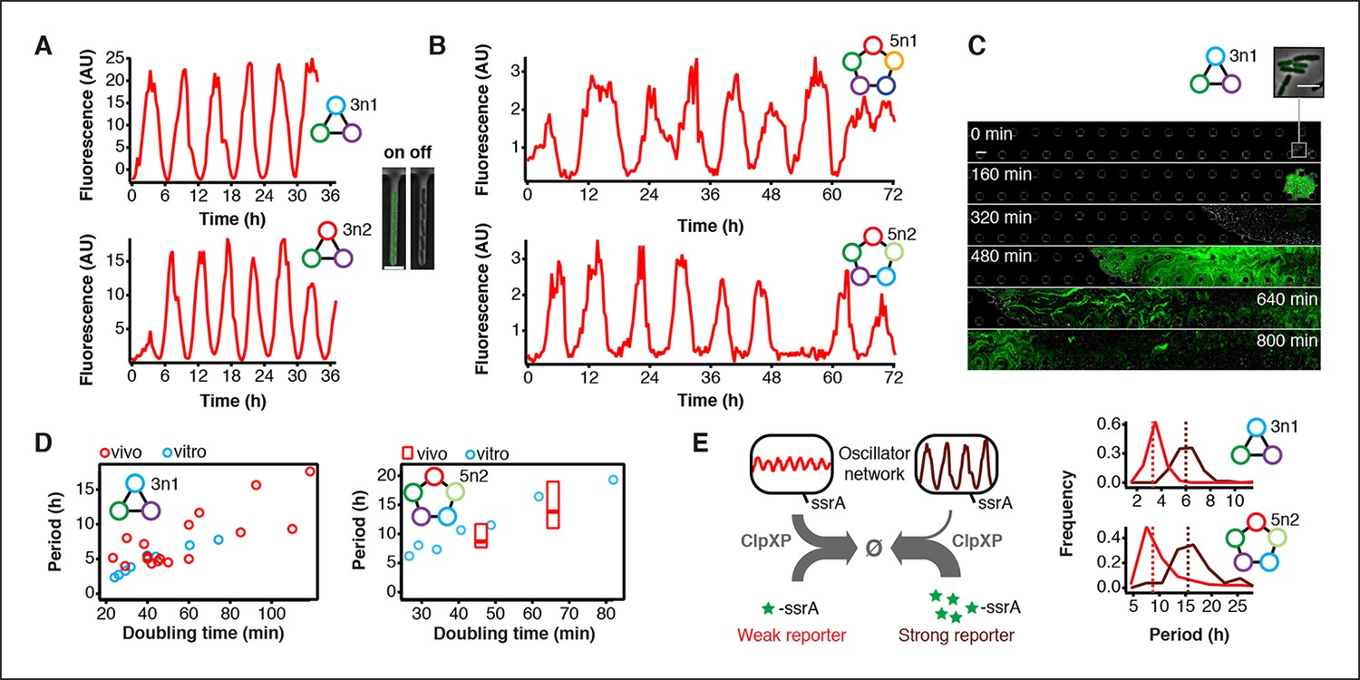 Rapid Cell Free Forward Engineering Of Novel Genetic Ring Extended Temperature Oscillators 3 Node And 5 In Cells