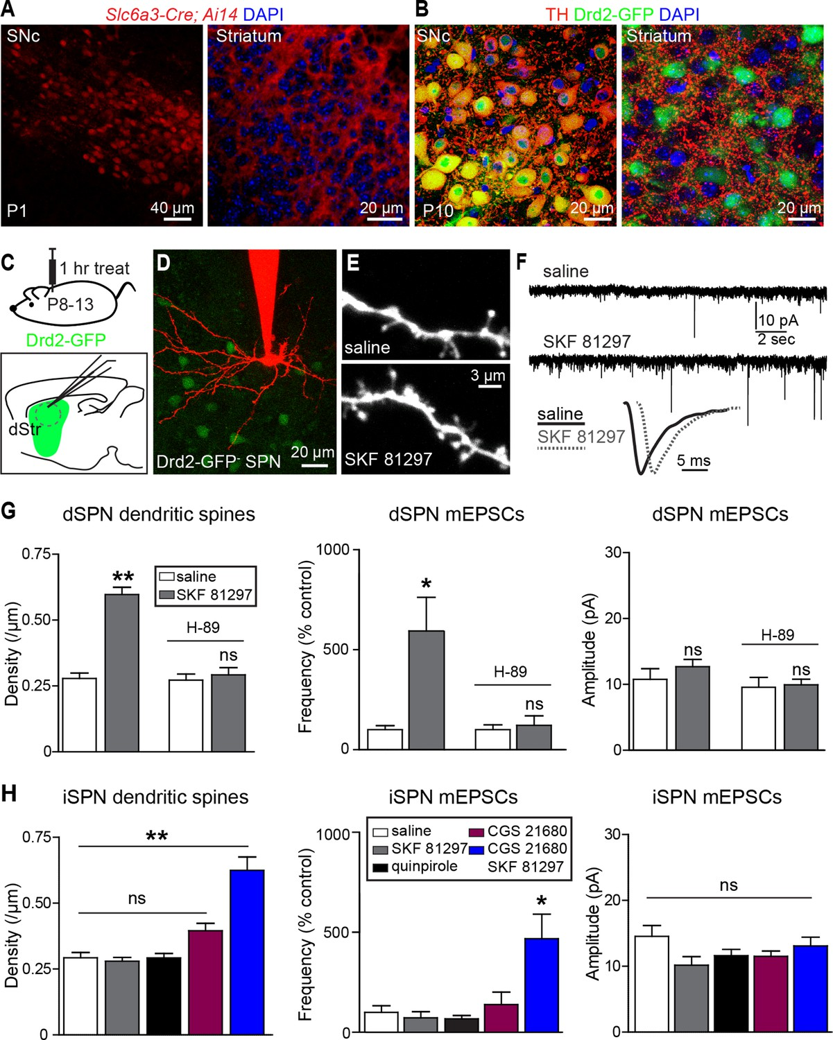 Neuromodulation Of Excitatory Synaptogenesis In Striatal Development Increasing The Number Lamps A Series Circuit Results Less Gs Gpcr Stimulation Rapidly Increases Spn Dendritic Spine And Synapse