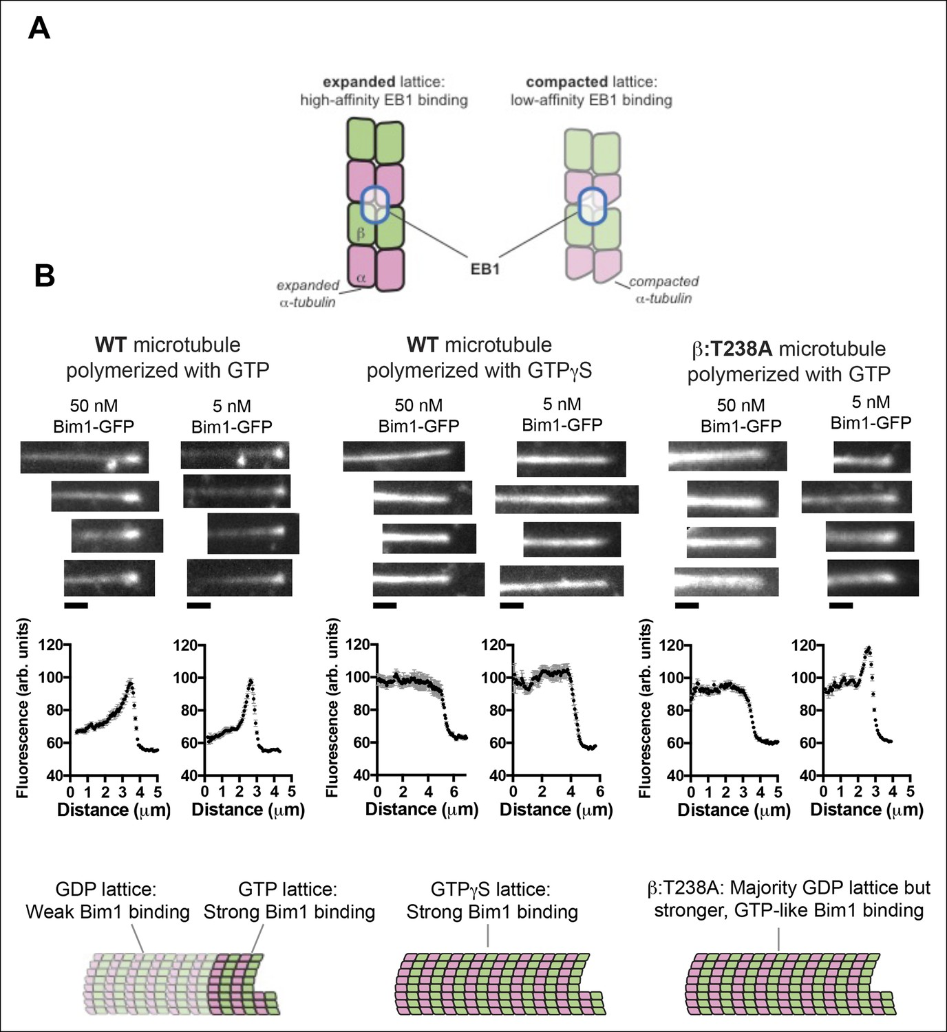 A mutation uncouples the tubulin conformational and GTPase cycles ...