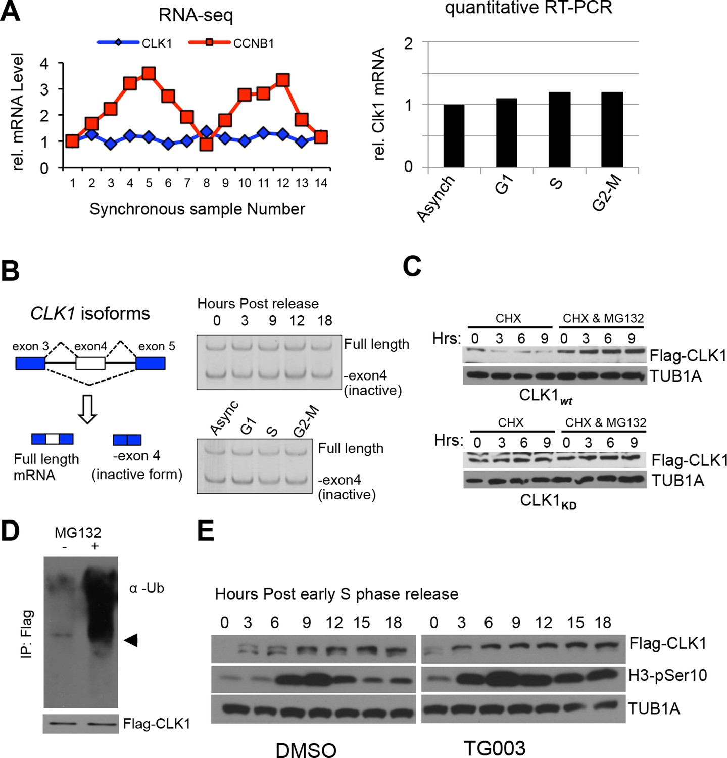 An extensive program of periodic alternative splicing linked to regulation of clk1 proteins levels during the cell cycle is degradation dependent nvjuhfo Image collections
