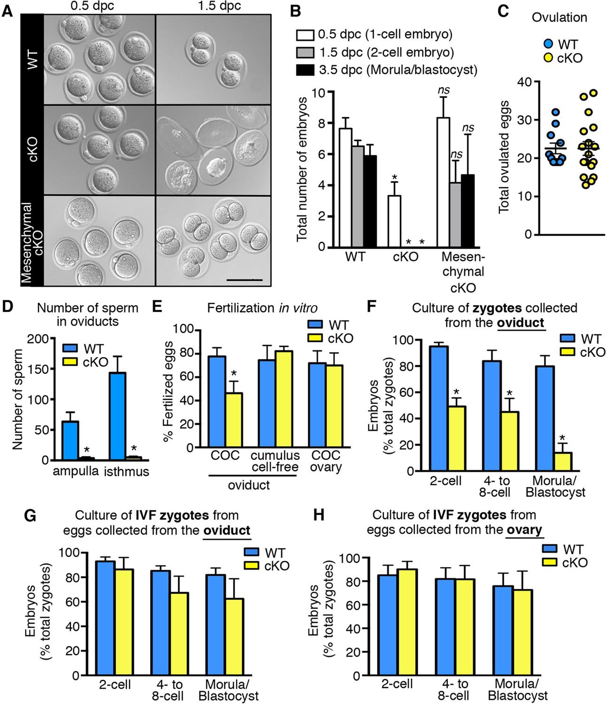 Oviductal Estrogen Receptor Signaling Prevents Protease Mediated