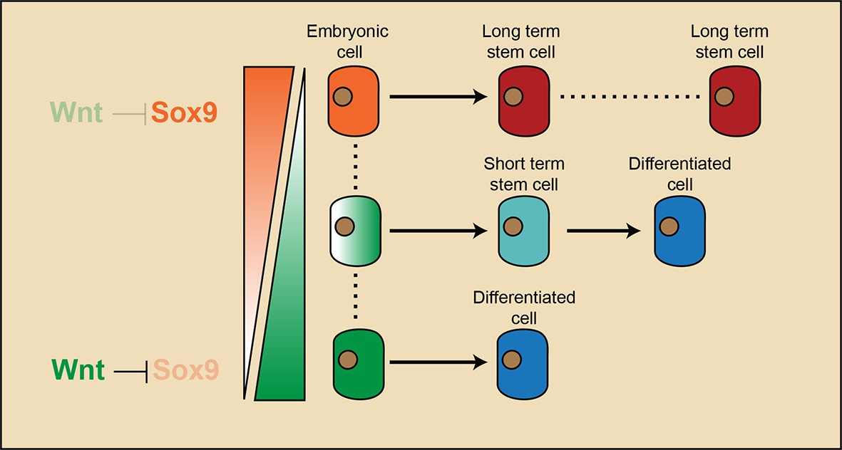 Figures And Data In Embryonic Attenuated Wnt Catenin Signaling