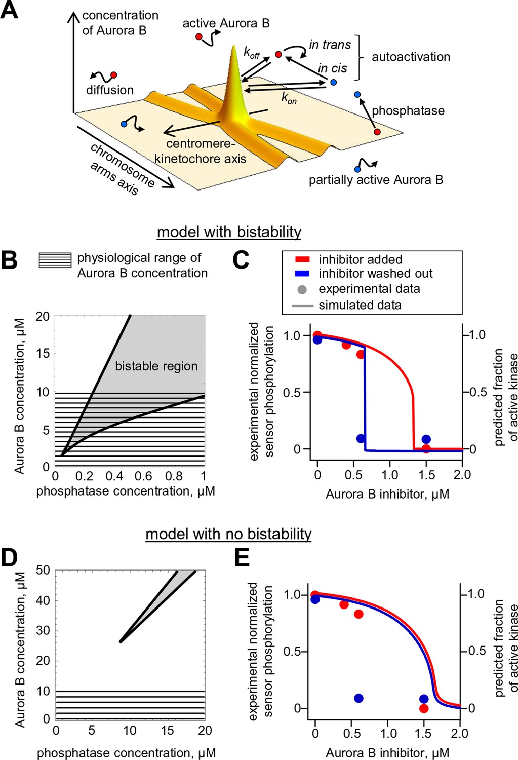 Bistability Of A Coupled Aurora B Kinase Phosphatase System In Cell Todd Engineering Schematics Spatial Model Activity The