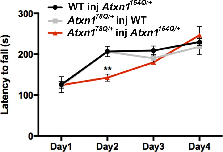 Ataxin-1 oligomers induce local spread of pathology and