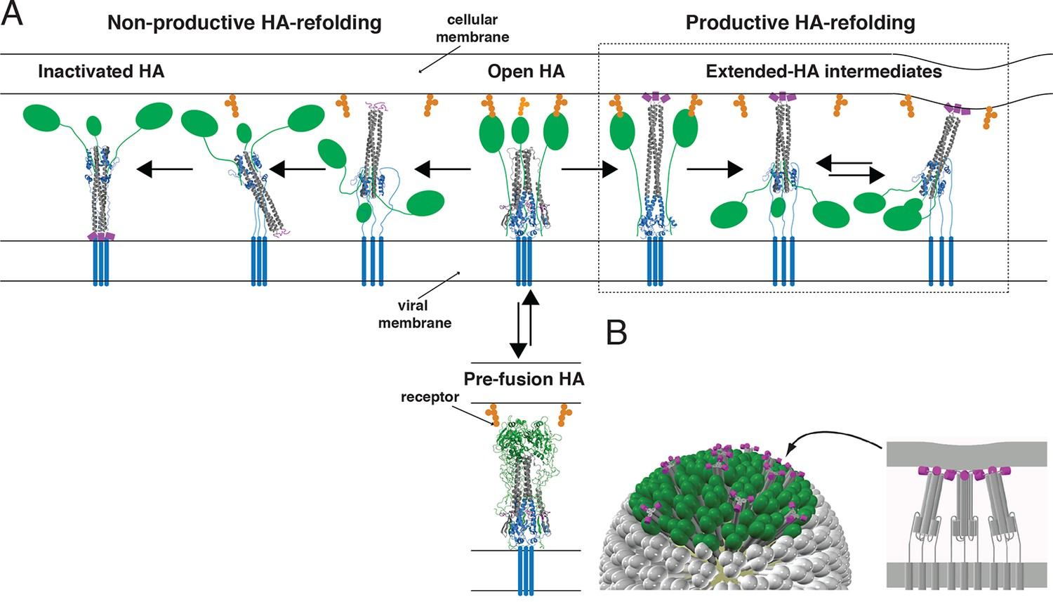 productive and non-productive ha refolding, and membrane fusion by  cooperative action of multiple, stochastically triggered has