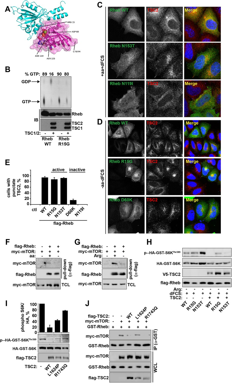 Control of TSC2-Rheb signaling axis by arginine regulates