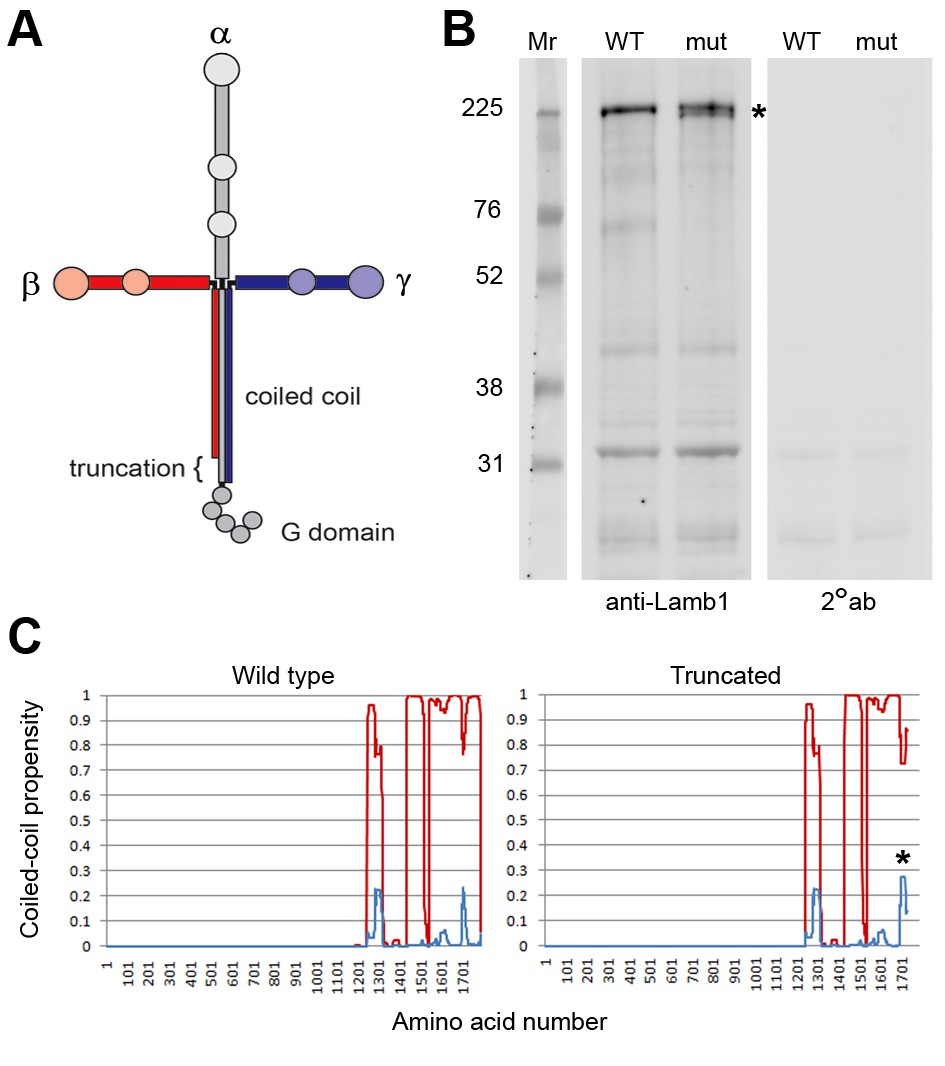 A Dystonia Like Movement Disorder With Brain And Spinal Neuronal 0 9 Counter Circuit Diagram Laminin 1 Protein Structure