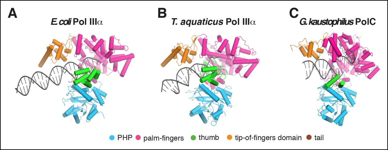 comparison of dna binding by c family dna polymerases