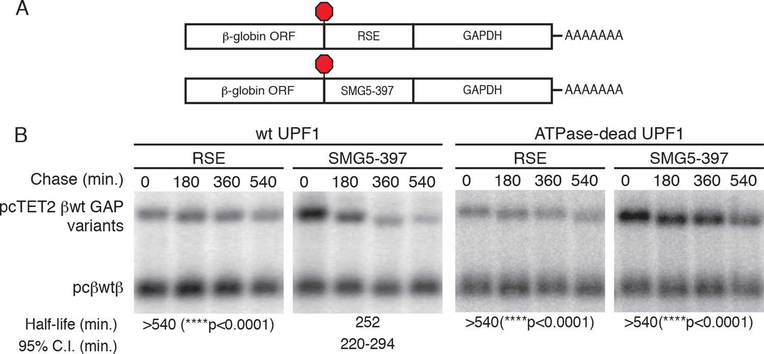 Polypyrimidine tract binding protein 1 protects mRNAs from